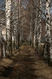 De weg in het berkbosje stock foto's