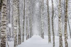 De weg van berkbomen binnen Het park Royalty-vrije Stock Afbeelding