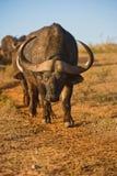 De weg van buffels Stock Afbeelding