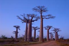 De Weg van de baobab Royalty-vrije Stock Fotografie
