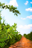 De weg van de boomgaard Royalty-vrije Stock Foto's