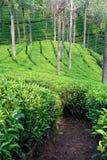 De Weg van de Tuin van de thee Stock Afbeeldingen