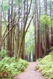 De Weg van de Wandeling van Forrest van de Californische sequoia royalty-vrije stock fotografie