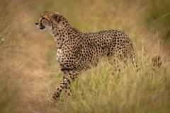 De weg van jachtluipaardkruisen door gras op savanne stock fotografie