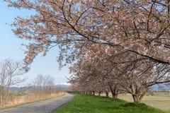 De wegmanier in lentetijd met Kers komt boom, Shibata Japan tot bloei Stock Afbeeldingen