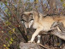 De Wegsluipen van de wolf op de Boomstam van de Boom Stock Fotografie