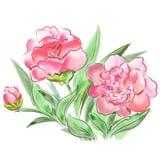De weide bloeit pioenen op witte achtergrond worden geïsoleerd die Royalty-vrije Stock Afbeelding