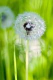De Weide Blowball van de zomer Royalty-vrije Stock Foto's