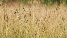 De weide met droog geel gras op wind bij de zomer, sluit omhoog stock video