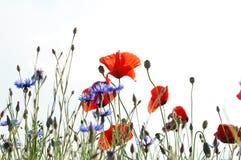 De weide van de bloem Stock Afbeeldingen
