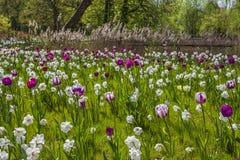 De weide van de de lentebloem met tulpen en geleende lelies in Nedersaksen stock afbeelding
