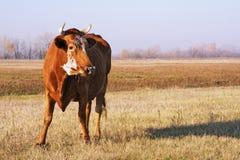 De weide van de koe Royalty-vrije Stock Fotografie