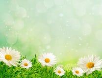 De weide van de lente met madeliefjes Stock Foto's