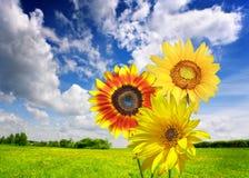 De weide van de zomer met bloemen Royalty-vrije Stock Fotografie