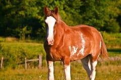 De weide van het paard Royalty-vrije Stock Afbeelding