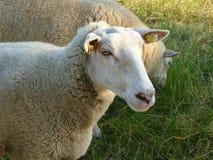 De weide van het schapenportret Stock Afbeeldingen