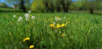 De weide van de lente met paardebloembloemen stock afbeelding