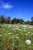 De Weide van Wildflower Royalty-vrije Stock Afbeeldingen