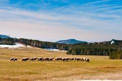 De weiden van Zlatibor met sheeps Royalty-vrije Stock Foto's