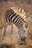 De weidende zebra van Burchell ` s in Kruger NP, Zuid-Afrika Stock Foto