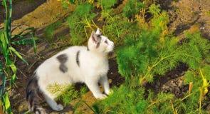 De weinig Europese zwart-witte katje jacht Stock Foto