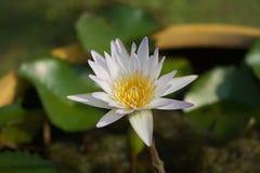 De weinig witte lotusbloem Royalty-vrije Stock Foto's