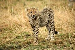 De welp die van de jachtluipaard zich waakzaam in het gras bevindt royalty-vrije stock afbeeldingen