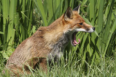 De welp die van de vos terwijl het zitten in het gras geeuwen Stock Foto's