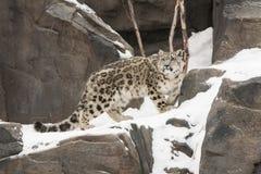 De Welp die van sneeuwleopar op Snow-covered Rocky Ledge lopen Royalty-vrije Stock Afbeeldingen