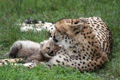 De Welp en het Mamma van de jachtluipaard stock afbeeldingen