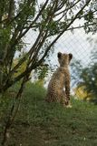 De welp van de babyjachtluipaard royalty-vrije stock fotografie