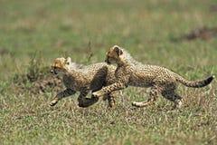 De Welp van de jachtluipaard Stock Afbeelding