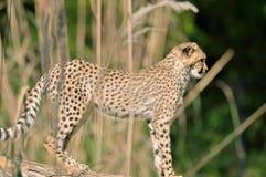 De Welp van de jachtluipaard Royalty-vrije Stock Afbeeldingen