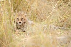 De Welp van de jachtluipaard stock foto's