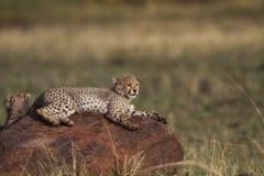 De welp van de jachtluipaard op de rots, Masai Mara Royalty-vrije Stock Fotografie