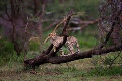 De welp van de jachtluipaard, Serengeti Stock Afbeelding