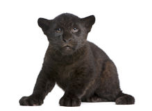 De welp van de jaguar (2 maanden) - onca Panthera stock foto's