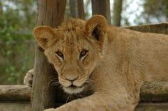 De welp van de leeuw Royalty-vrije Stock Afbeelding