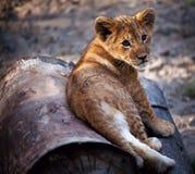 De welp van de leeuw Stock Foto's