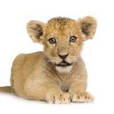 De Welp van de leeuw (3 maanden) stock fotografie