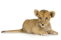 De Welp van de leeuw (3 maanden) Royalty-vrije Stock Afbeelding