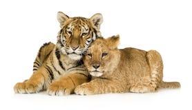 De Welp van de leeuw (5 maanden) en de tijger werpen (5 maanden) royalty-vrije stock foto's