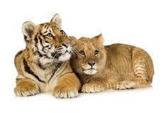 De Welp van de leeuw (5 maanden) en de tijger werpen (5 maanden) Royalty-vrije Stock Afbeelding