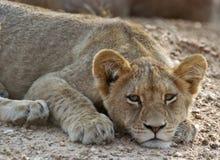 De welp van de leeuw Royalty-vrije Stock Afbeeldingen