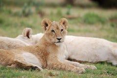 De Welp van de leeuw Royalty-vrije Stock Foto's