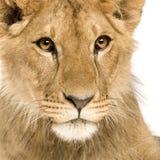 De Welp van de leeuw (9 maanden) Stock Foto's