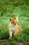 De welp van de leeuw, de Reserve van het Spel van Masaai Mara, Kenia Stock Foto