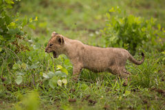 De welp van de leeuw in de wildernis, de safari van Afrika Royalty-vrije Stock Afbeeldingen