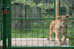 De Welp van de leeuw in Dierentuin Stock Foto's