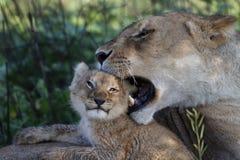 De welp van de leeuw het spelen met moeder, Serengeti Royalty-vrije Stock Foto